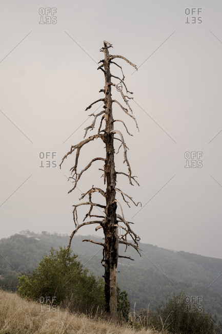 Dead tree in Big Sur