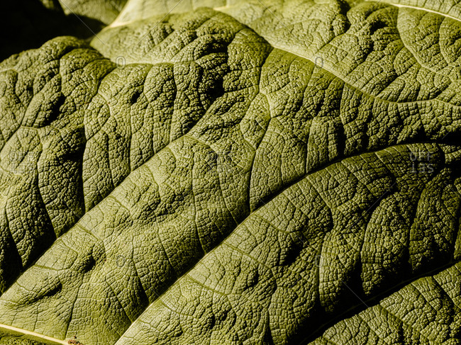 Detail shot of a Gunnera Manicata leaf