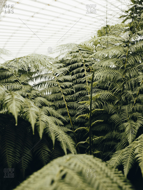 Detail shot of ferns in Glasgow Botanic Gardens
