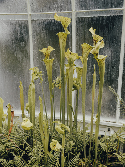Carnivorous Pitcherplants in Glasgow Botanic Gardens