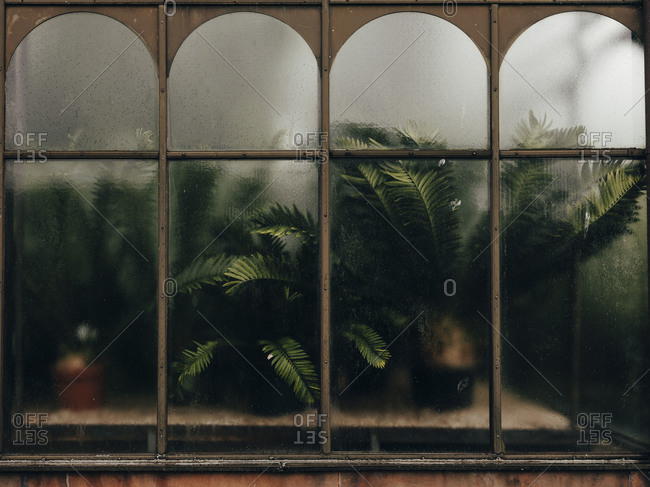Ferns pushed up against window at Glasgow Botanic Gardens