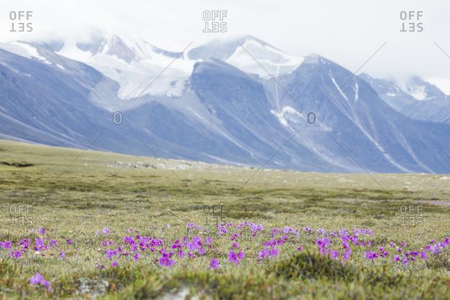 Wildflowers growing in Arctic Tundra, Akshayak Pass.