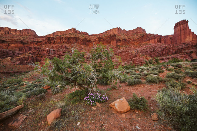 Purple desert flowers blooming under fisher towers in the Utah desert