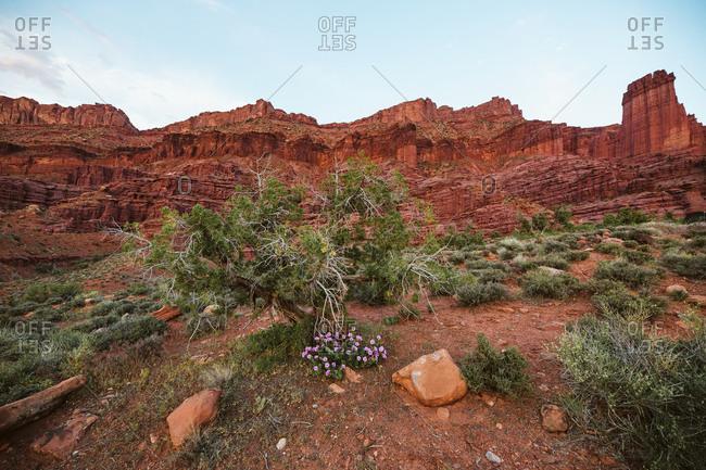 Purple desert flowers blooming under fisher towers in the Utah desert