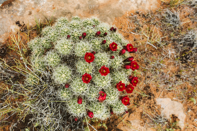 Red flower cluster of claret cup cactus shot from above in Utah desert
