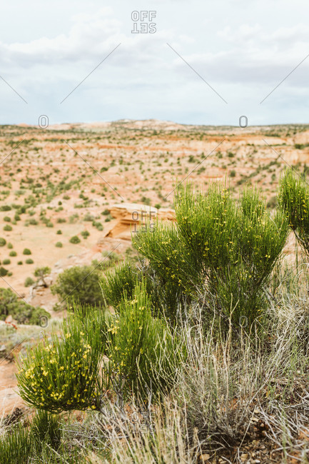 Yellow flowering shrubs in the desert of Utah