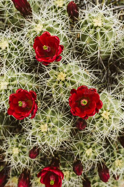 Red claret cup cactus flowers blooming from above