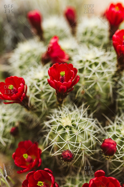 Claret cup cactus blooming red flowers in the deserts of western us