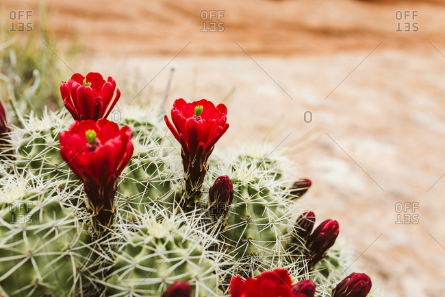 Side profile of a blooming claret cup cactus flower in the desert