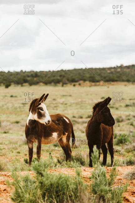 Two wild burros look left with ears pointed in blm land of Utah