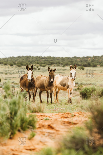 Three wild burros stare at camera on blm land of Utah
