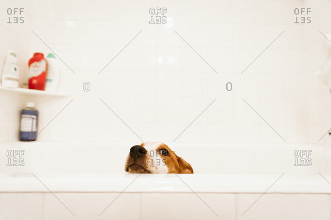 Mixed breed puppy pokes her head above the bathtub before bath time