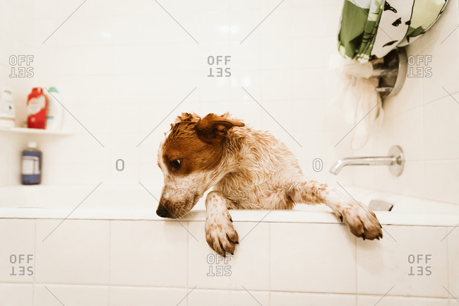 Dirty and wet puppy tries to climb out of bathtub during bath time