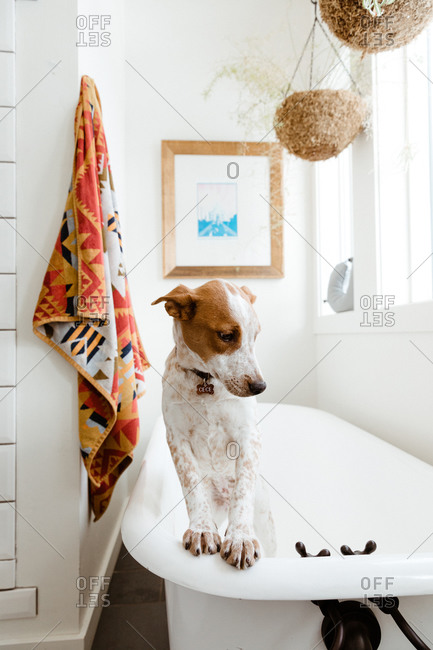 Mutt pup leans front paws on a claw foot tub in stylized bathrooth