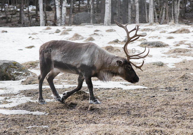 Reindeer walking across a forest in winter in Sweden