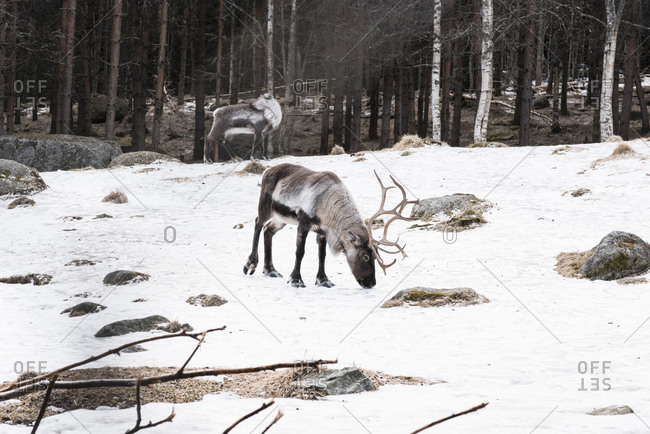 Wild reindeer walking in the snow in winter in Sweden