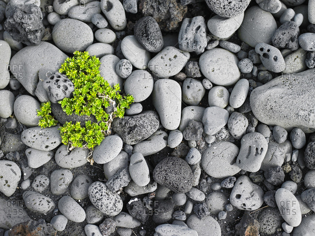 Green plant on rounded pebbles on a beach in Iceland