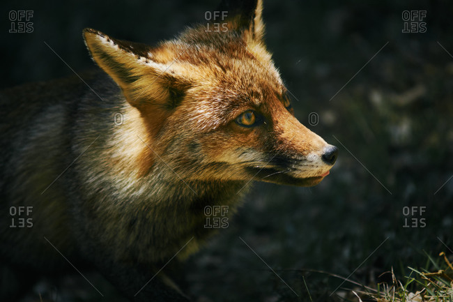Photograph of wild fox in the cazorla mountain range, with winter fur