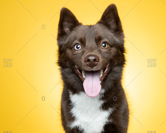 Furry brown and white dog with multicolored eyes in front of yellow background