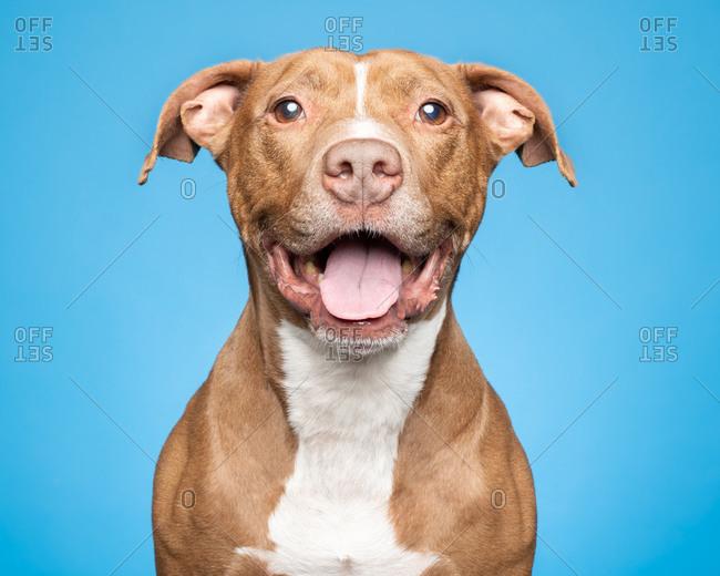 Happy tan and white Pitbull rescue dog