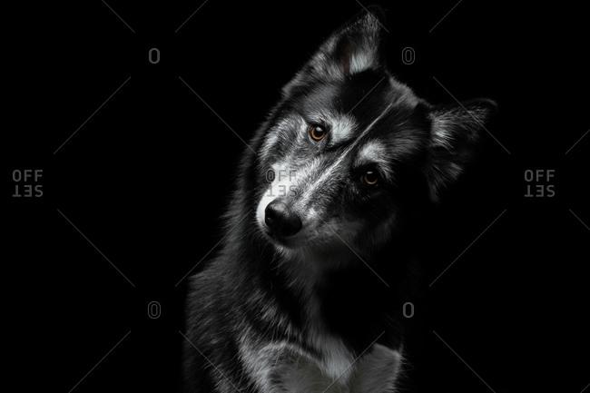 Studio portrait of husky mix dog