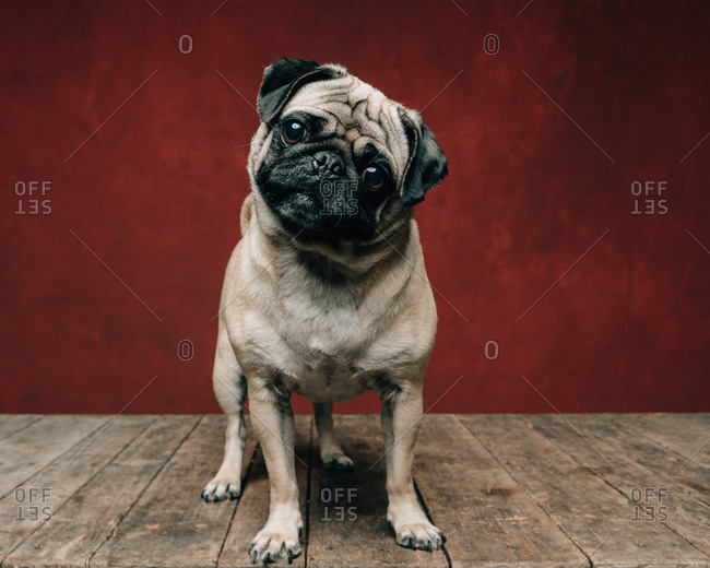 Adorable pug dog in front of a red background