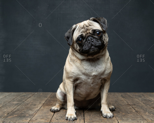 Adorable pug dog in front of a dark background