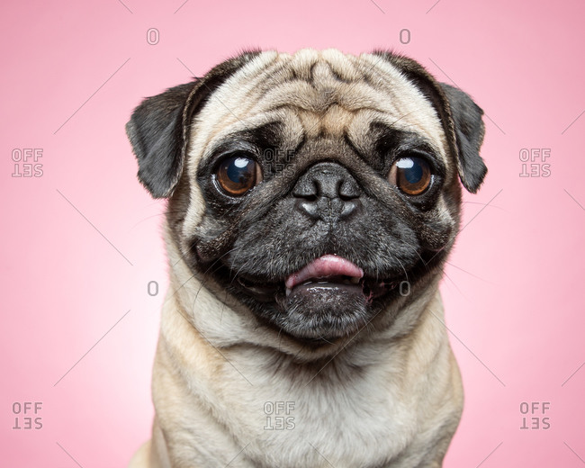 Pug dog in front of a pink background