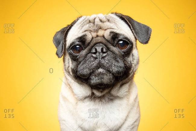 Pug dog in front of a yellow background