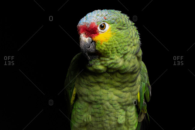Red-lored amazon bird in front of black background