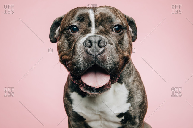 Happy brown and white Pitbull rescue dog on pink background