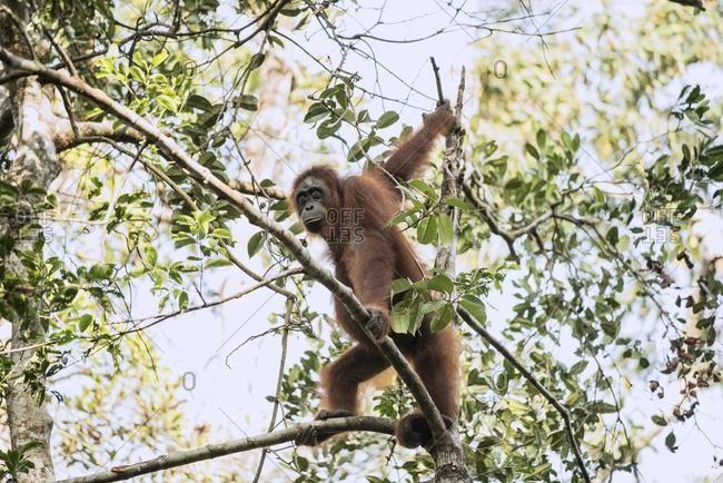 Orangutan in a tree, Tanjung Puting National Park, Kalimantan, Indonesia