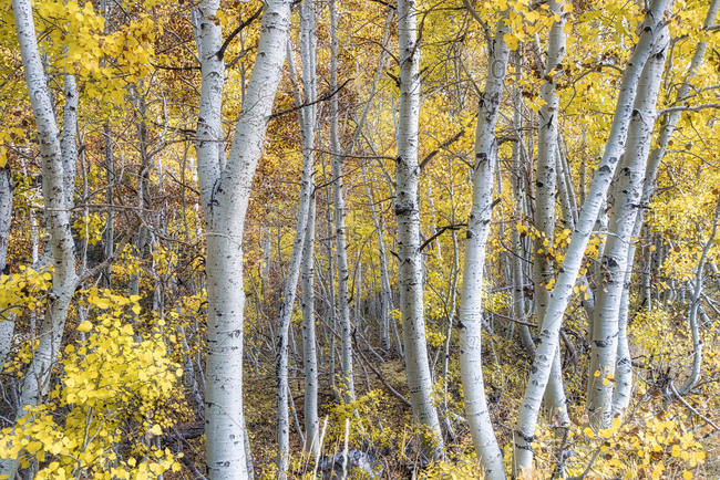 Aspen trees with fall colors in the Eastern Sierra Nevada, California