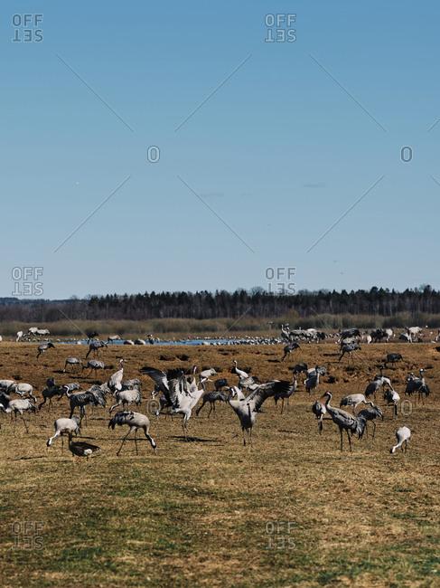 A flock of cranes in a field near Toledo, Spain