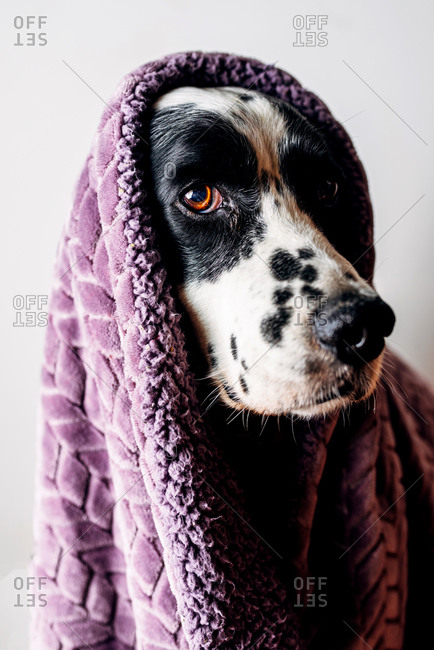 Adorable English Setter wrapped in soft violet blanket against white background