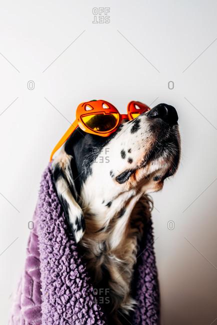Cute dog in halloween glasses under warm blanket
