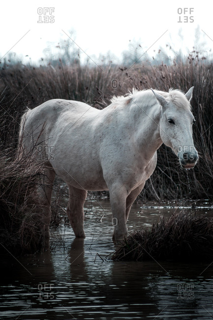 Tranquil white horse standing on water among high dry grass in swamp in spring day