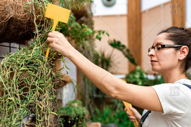 Adult lady putting blank label stick into soil with green plant during work in indoor garden