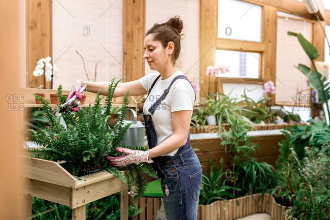 Side view of happy brunette woman smiling and cutting leaves of potted fern while working in hothouse