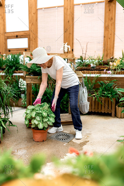 Full body senior lady in hat taking care of potted green plant while working in hothouse