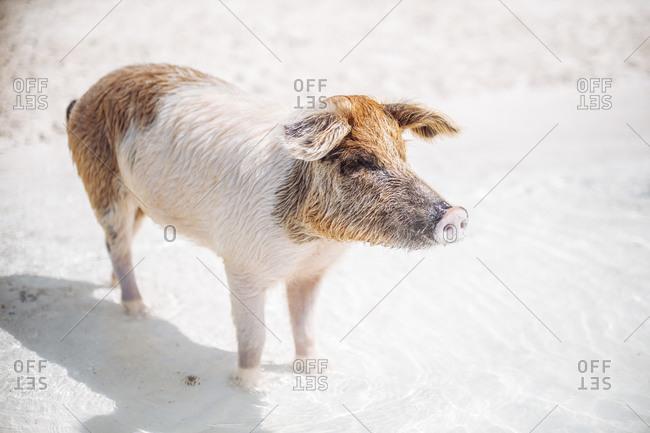 Pig swimming in sea on Pig Beach- Exuma- Bahamas- Caribbean