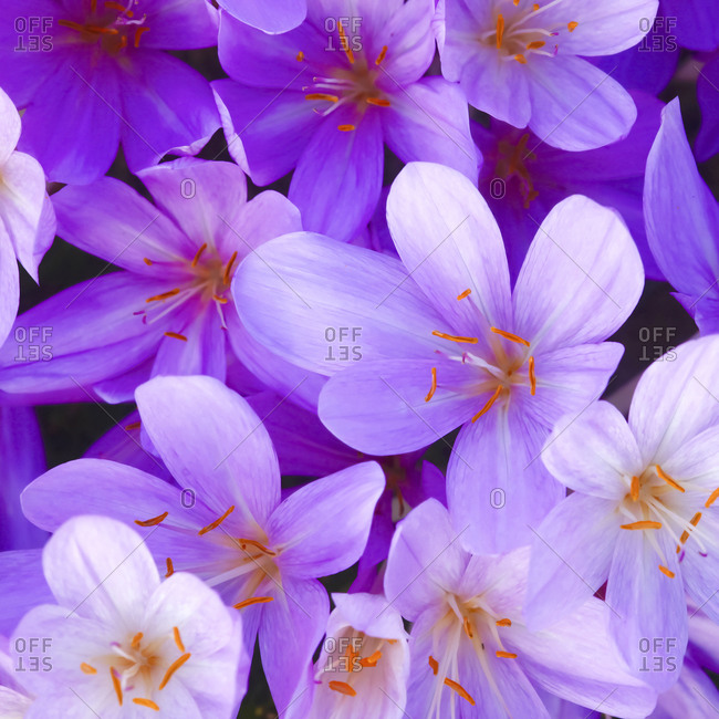 Blossoms of purple meadow saffron