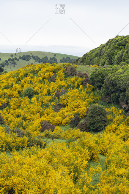 New Zealand- Otago- Common broom (Cytisus Scoparius) blooming in spring