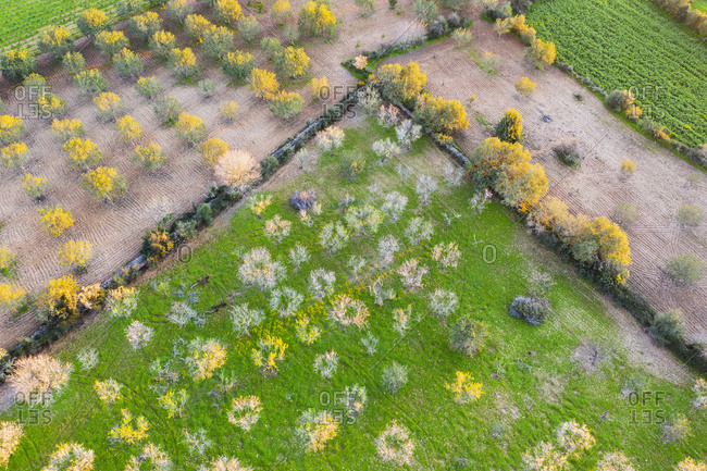 Spain- Balearic Islands- Felanitx- Drone view of almond trees blooming in springtime orchard