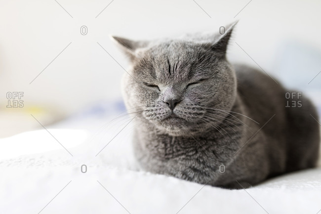 Portrait of grey British shorthair with eyes closed relaxing on bed