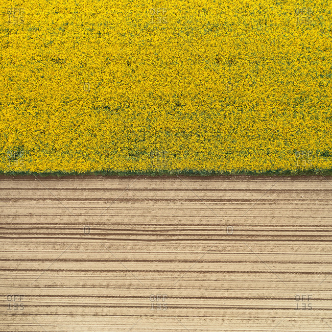 Aerial view of a rapeseed cultivation field in bloom, Po Valley, Lombardy, Italy.