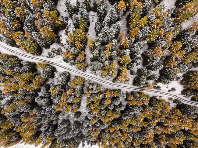 Aerial view of forest road leading through a pine forest of pine trees and larches in winter with fresh snow. Goms, Switzerland