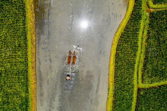 Aerial view of the water buffalos in the rice fields at Penarungan, Bali, Indonesia.