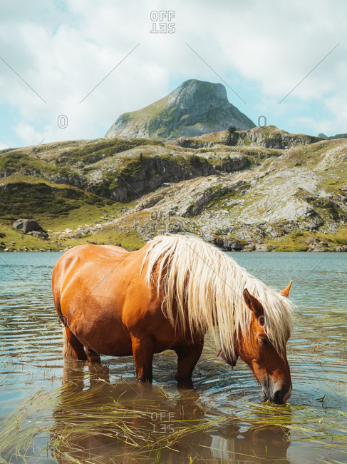 Brown horse eating grass while taking a bath on a lake in Pyrenees
