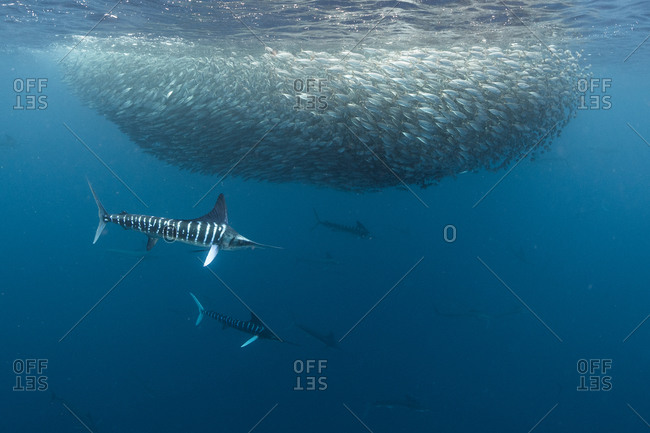 Striped marlin hunting mackerel and sardines